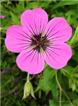 .armenian cranesbill.