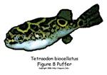 Tetraodon biocellatus