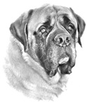 NEW English Mastiff Sketch