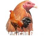 American Game Fowl