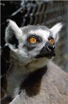 Lemur Eyes