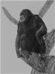 Chimp on Limb