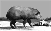 Wet Tapir