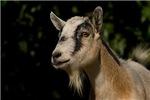 Goat Watching