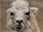 Llama 8716