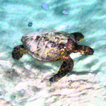 Swimming Turtle