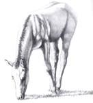 Buckskin Foal Nibbling