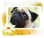 Pug Summer
