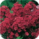 Phlox Dark Red