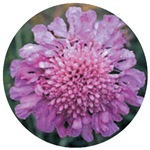 Scabiosa Pink