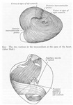 Grays Anatomy heart