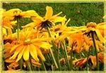 Yellow daisies, photo
