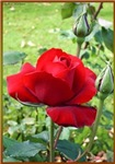Red Rose, photo