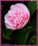 Pink Flower, photo, lovely,