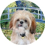 Shih Tzu (P)<br>in Lily Pond Bridge