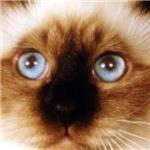 Blue Birman Eyes