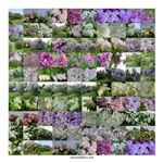 Lilac Collage #46