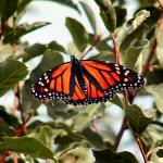 The Majestic Monarch Butterfly