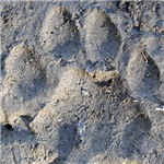 Puma Cougar Track