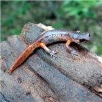 Ensatina Salamander