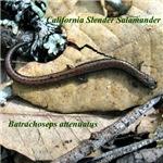 Calif. Slender Salamander