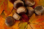 Fall Leaves and Chestnuts