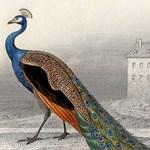 Peacock Engraving