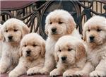 Pop-Up! Puppies