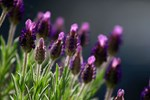 Spanish Lavender Blooms