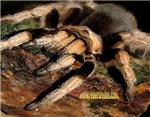 Tarantula calendars, mugs, and miscellany