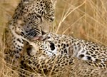 Karula and Male Cub