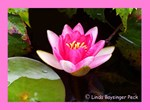 Pink Waterlily 04