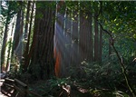 SF Bay Area Redwood Forests Postcards