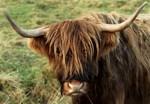 Horny Highland Cow