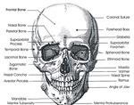 Skull Forward