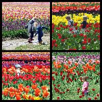 Kids & Tulips Collection