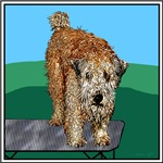 WHEATEN TERRIER: UNHAPPY CAMPER