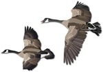 Geese in Flight-No Text
