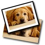Golden Retriever Posters and Framed Prints