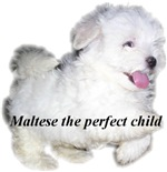 Maltese the perfect child