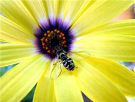 Gorgeous close-up photo of bee on yellow flower.