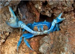 Defensive Blue Crab