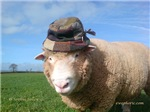 ram with hat