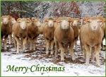 Sheep Christmas