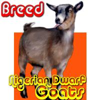 Nigerian Dwarf Goat