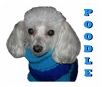 Poodle in Sweater