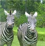 Bright-eyed zebras