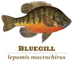 BLUEGILL Species