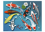 Nine Varieties of Koi