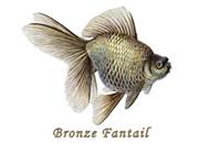 Bronze Fantail